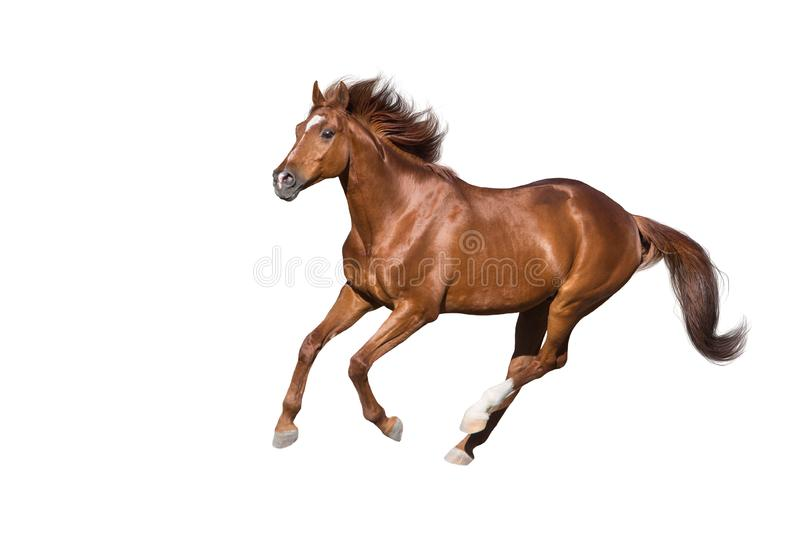 Red horse on white. Red horse run gallop isolated on white background royalty free stock image