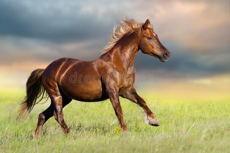 Red horse run. Gallop on spring meadow at sunset royalty free stock photography