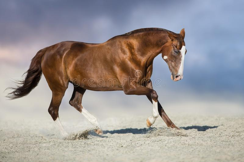 Red horse run. In desert dust against blue sky royalty free stock photo