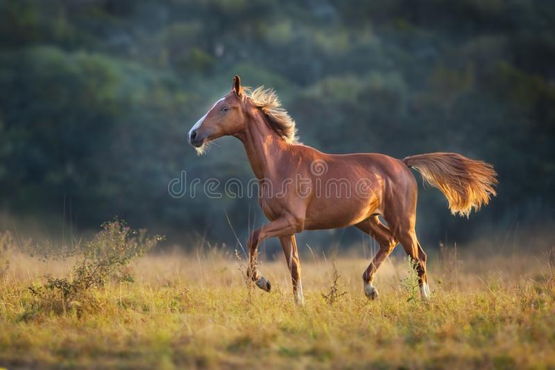Red horse run. In meadow stock photos