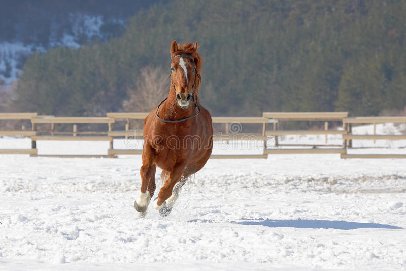 Red horse running on the snow. Red horse running on the snow in winter stock image