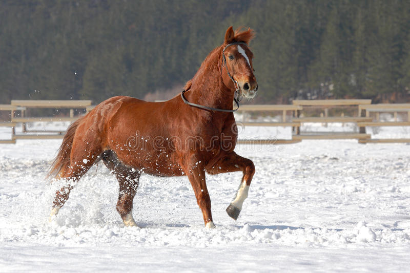 Red horse running on the snow. stock photo