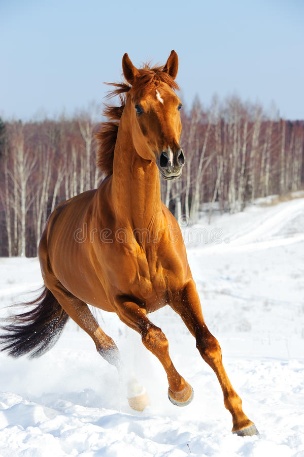 Red horse runs front in winter stock photo