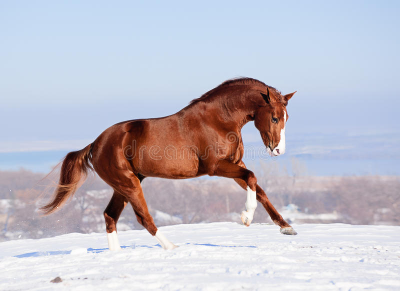 Red horse on the snow in winter