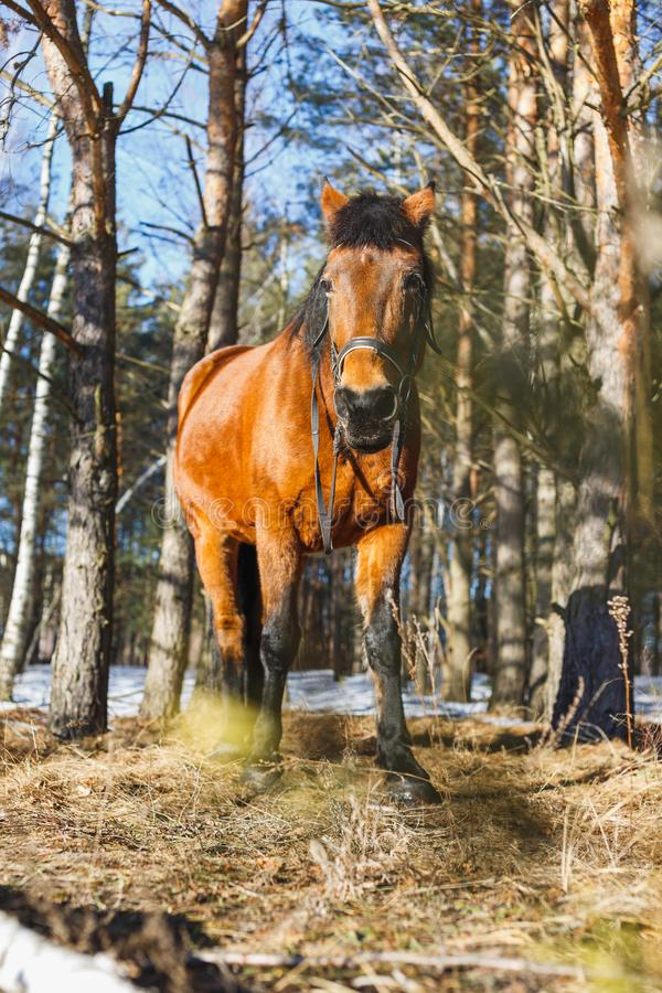 Horse In Spring Forest Stock Photo Image Of Wood Equine