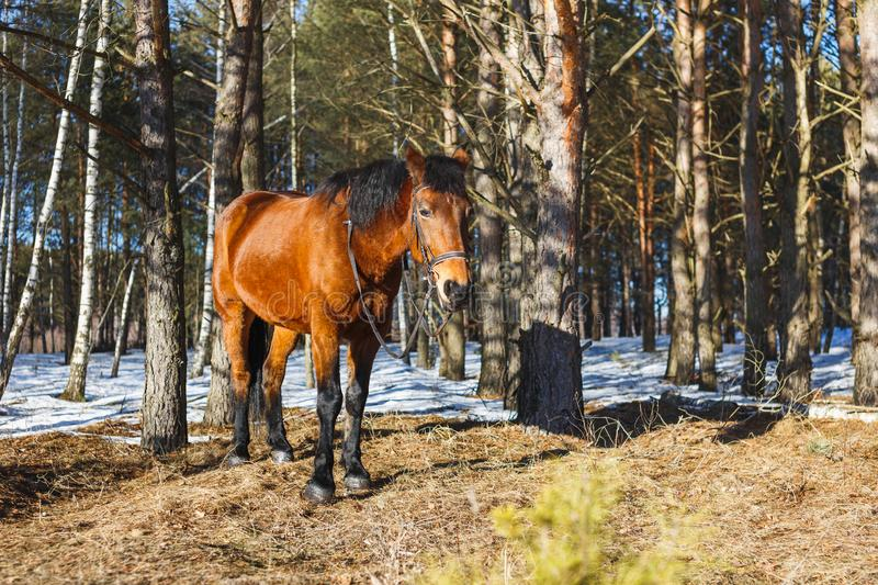 Red horse in the spring forest stands on the sunny edge stock photos