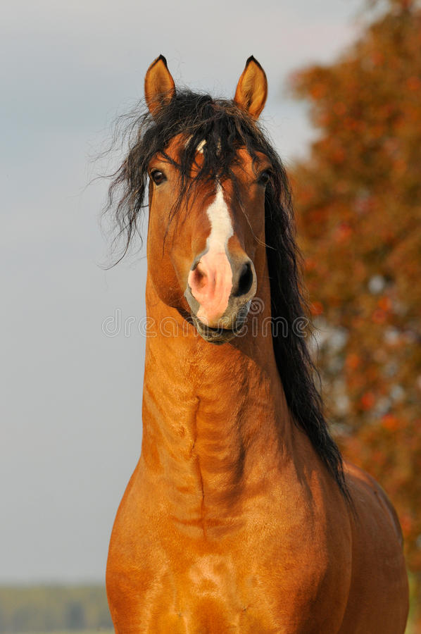 Download Red Horse Stallion Portrait In Autumn Stock Photography - Image: 10973572