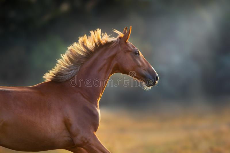 Red horse in sunlight. Red horse close up portrait in motion at sunset stock images