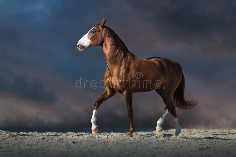 Red horse trotting. Red horse run in desert dust against dark dramatic sky royalty free stock image