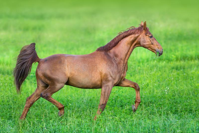 Red horse trotting. In summer green field royalty free stock image