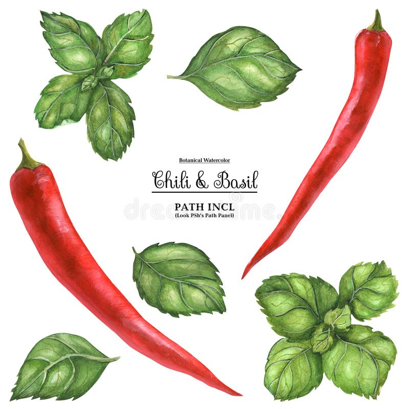 Red Hot Chili and Basil. Watercolor botanical realistic illustration. Red hot chili peppers and basil leaves on a white background, path included vector illustration