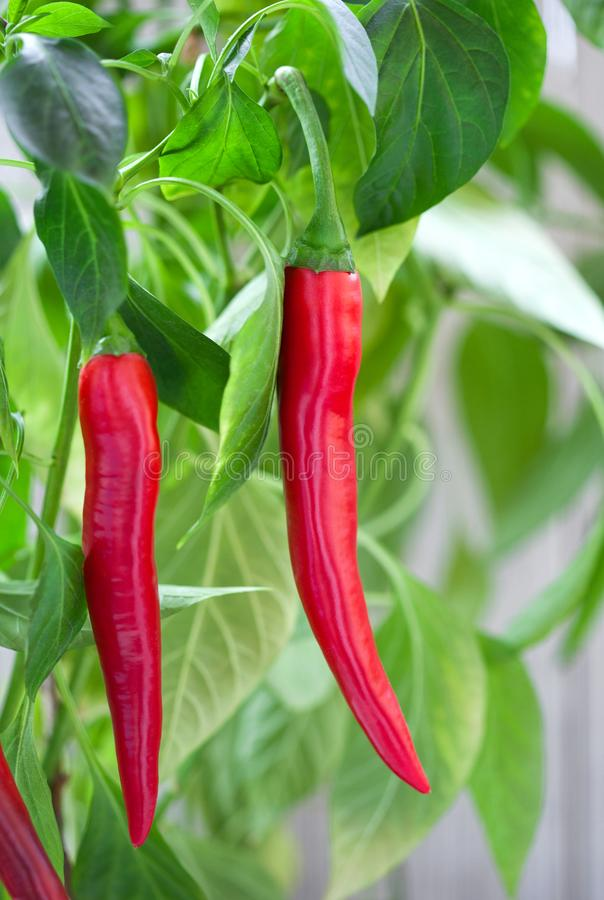 Red chili peppers close-up royalty free stock image