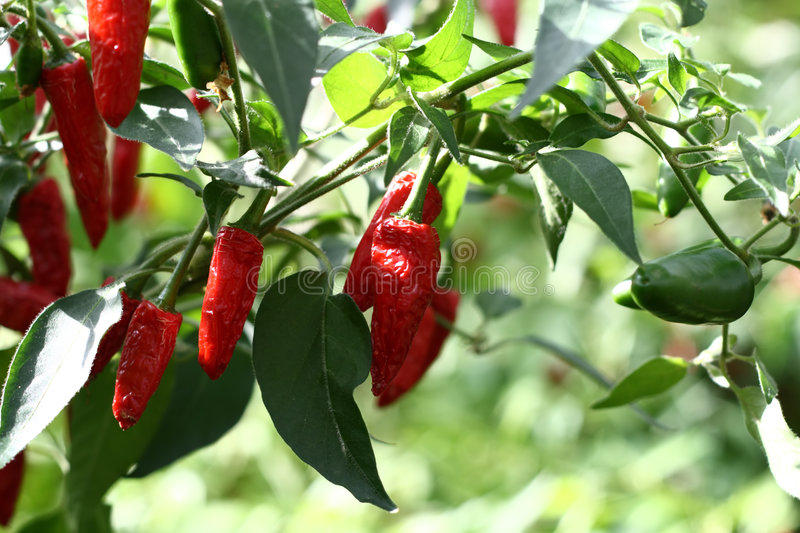 Red hot chilli cayenne peppers royalty free stock photos