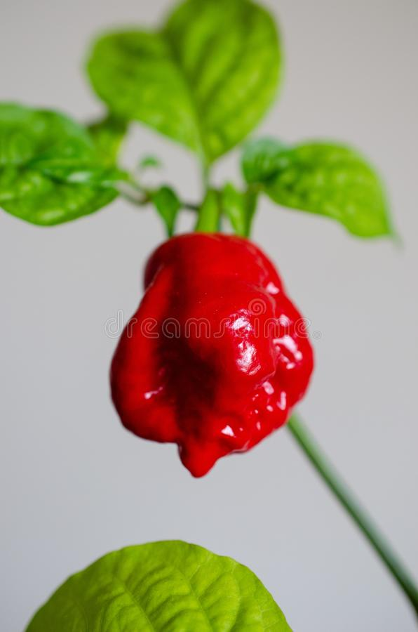 Red hot chilli pepper. Habanero red caribbean on a plant 7 pots. Capsicum chinense royalty free stock photography