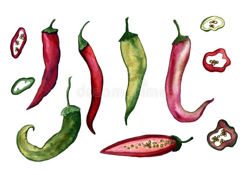 Red hot chilli peppers set. Hand drawing watercolor. Can be used for postcards, stickers, encyclopedias, menus, ingredients of vector illustration