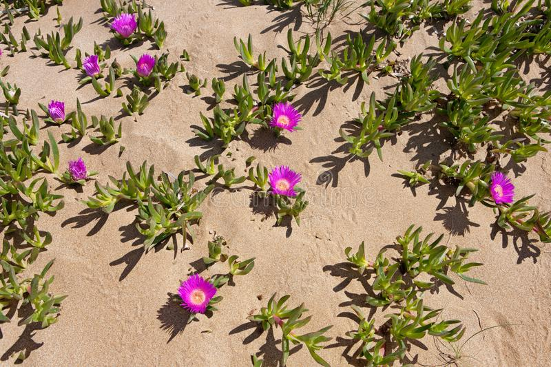 Red Hottentot Figs - Flowers from the desert of lake Korission royalty free stock photography