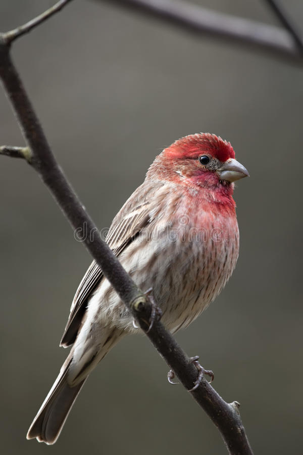 Red House Finch bird stock photo
