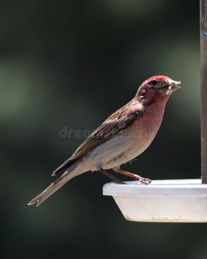 Red house finch stock images