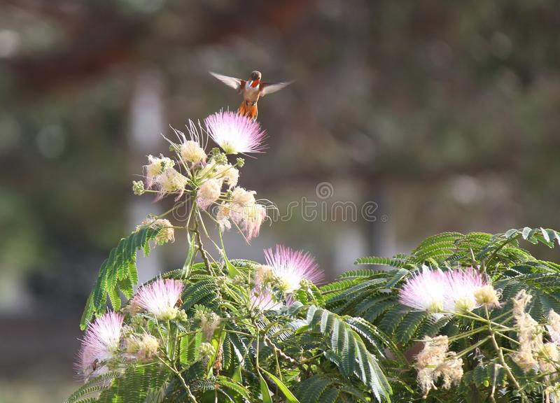 Red Hovering Humming Bird Moth. Red hovering Hummingbird on Mimosa tree royalty free stock images