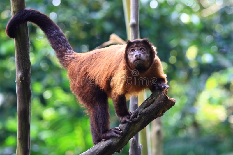 Red Howler Monkey royalty free stock photos