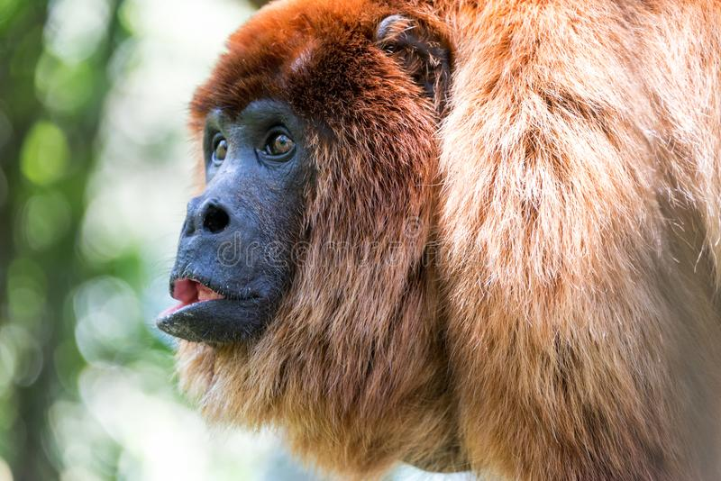 Red Howler Monkey Closeup stock photo