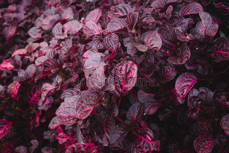 Red Hue Croton Leaves Pattern Abstract Background. Red Hue Garden Croton Plant Leaves with Lacy Patterns Arround its Vein. Foliage Nature Background. Wallpaper royalty free stock photography