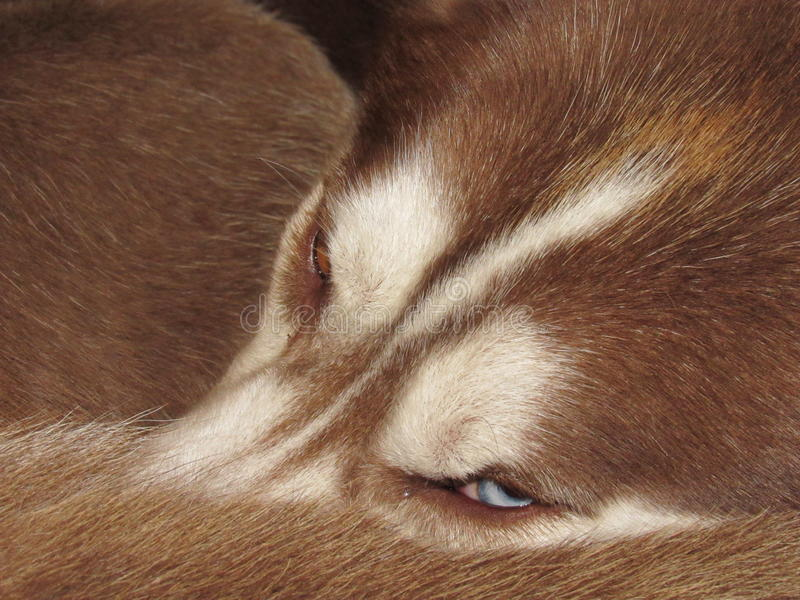 Red husky. Beautiful red husky all curled up ready to sleep royalty free stock photos
