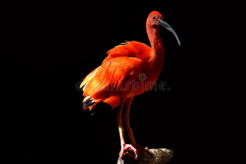 Red Ibis. A beautiful red Scarlet Ibis Eudocimus ruber stands on a tree branch royalty free stock photo
