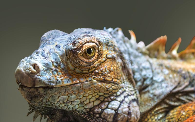 Red iguana reptile portrait close up. Old red iguana reptile portrait close up, isolated on dark background stock images