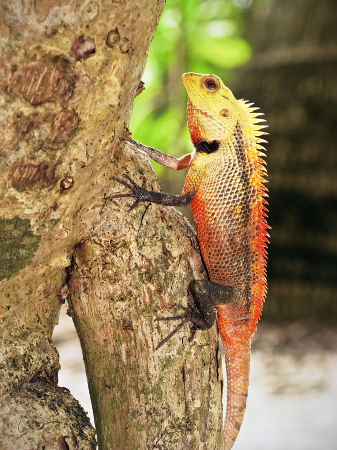 Red iguana on a tree royalty free stock photo