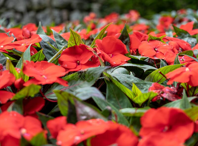 259 Red Impatiens Guinea Photos Free Royalty Free Stock Photos From Dreamstime