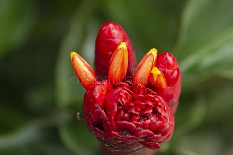 Red Indian head ginger costus speciosus flower royalty free stock photos