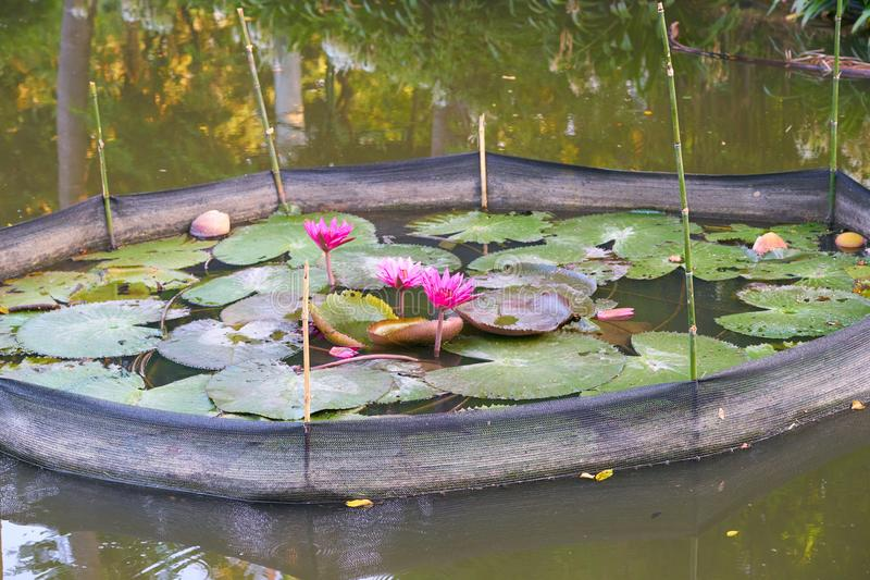 Red Indian Water Lily or red lotus stock photos