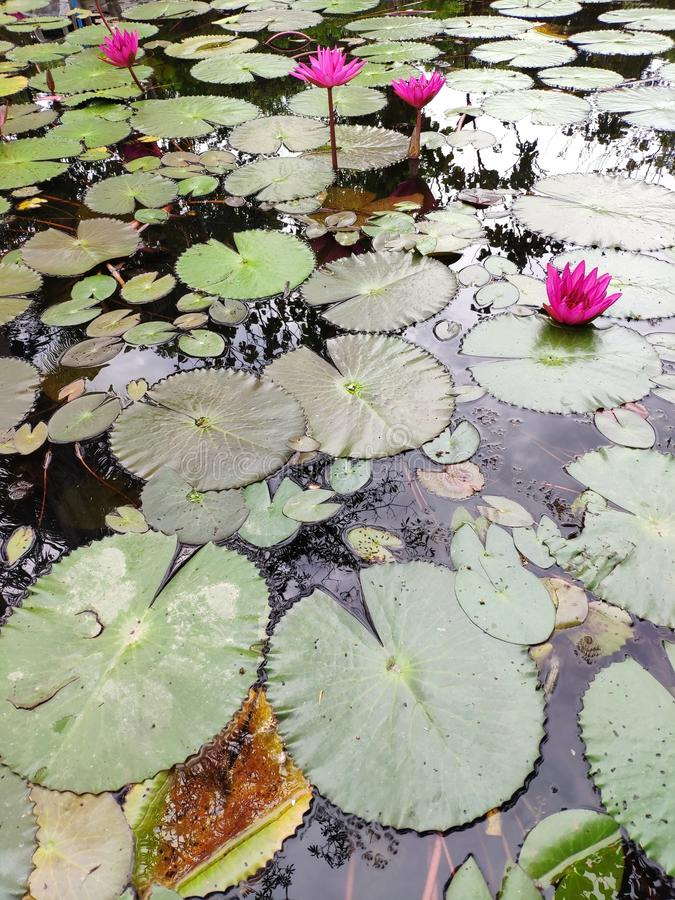 Red indian water lily royalty free stock photos