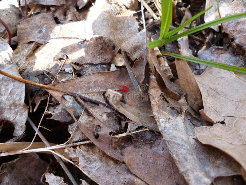 Tetranychus urticae (Spider Mite). Red insect crawling through the dead leaves stock image