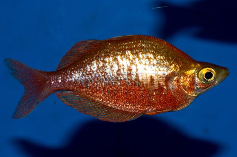 Red Irian Rainbowfish Male. Sideview of Glossolepis incisus stock photo