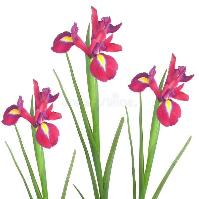 Red Iris stock photo