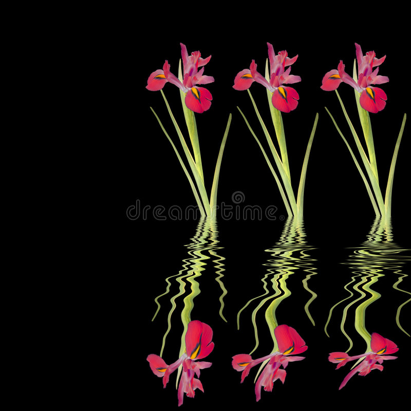 Download Red Iris Beauty stock image. Image of blossom, finest - 6293871
