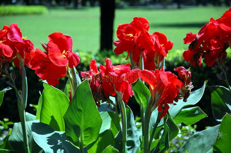 Red irises. Red blooming irises close up stock photo
