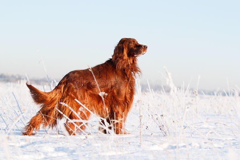 Download Red irish setter stock photo. Image of field, nature - 29382216