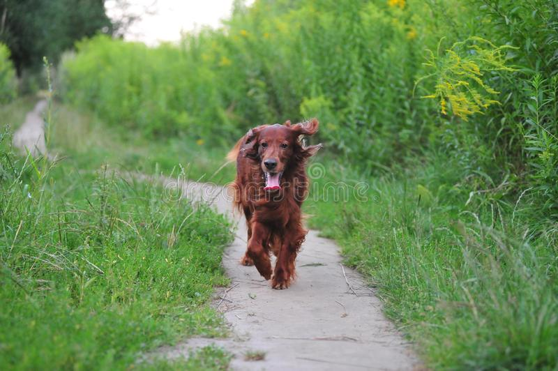 Red Irish setter cools down after a long walk. stock photos