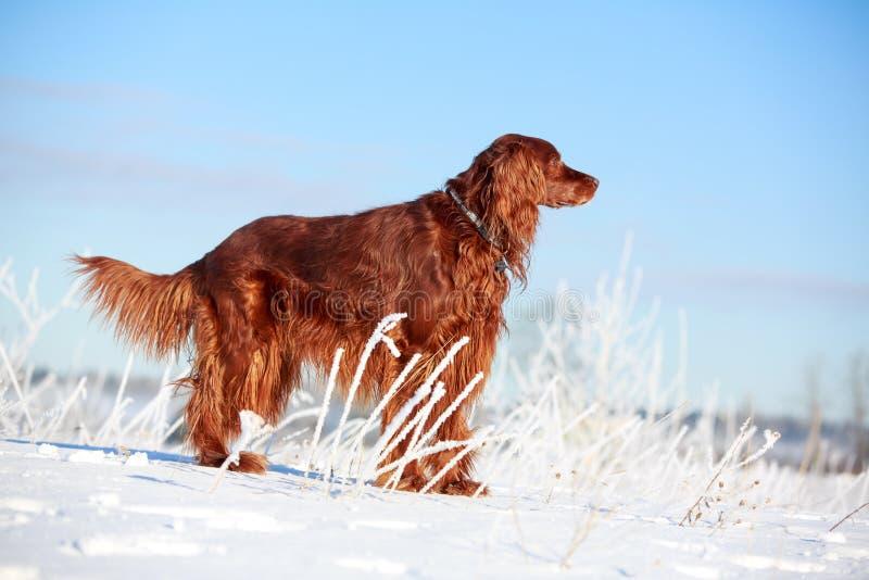 Download Red irish setter stock photo. Image of animal, snow, nature - 30171722