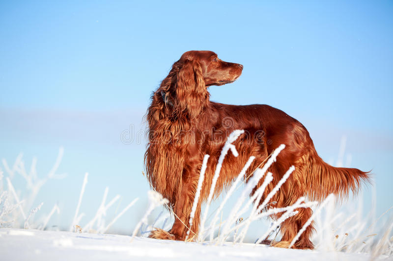 Download Red irish setter stock image. Image of field, white, animal - 30172101
