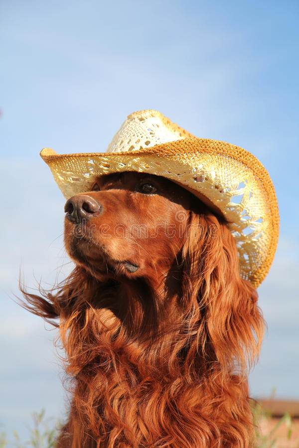 Download Red irish setter in hat stock photo. Image of straw, animal - 22495716