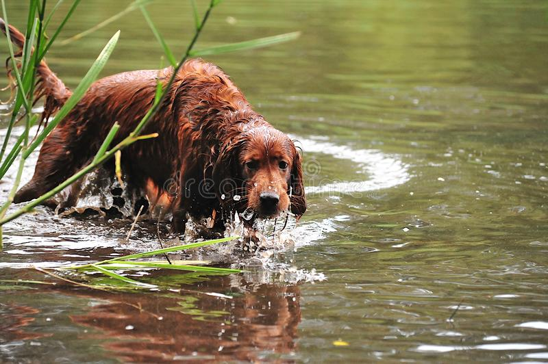 Red Irish setter hunts for ducks royalty free stock image