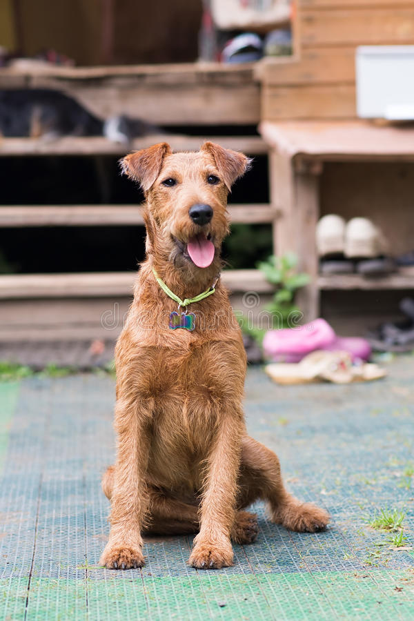 Red Irish terrier. Dog, pet. Rest outdoor royalty free stock images
