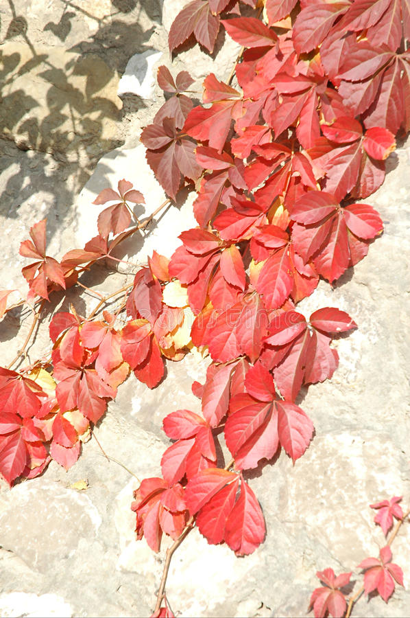 Download Red ivy stock image. Image of flower, route, sunshine - 13477215