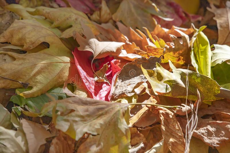 Red ivy leaf lying on the dry brown leaves of the plane tree. stock image