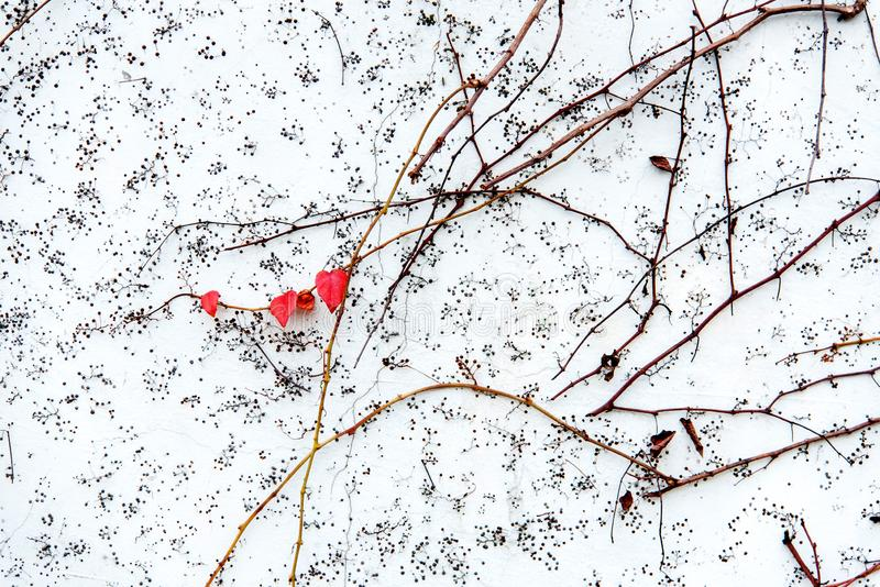 Red ivy leaves on vine against white wal. Beautiful red ivy leaves on vine against white wall background stock photography