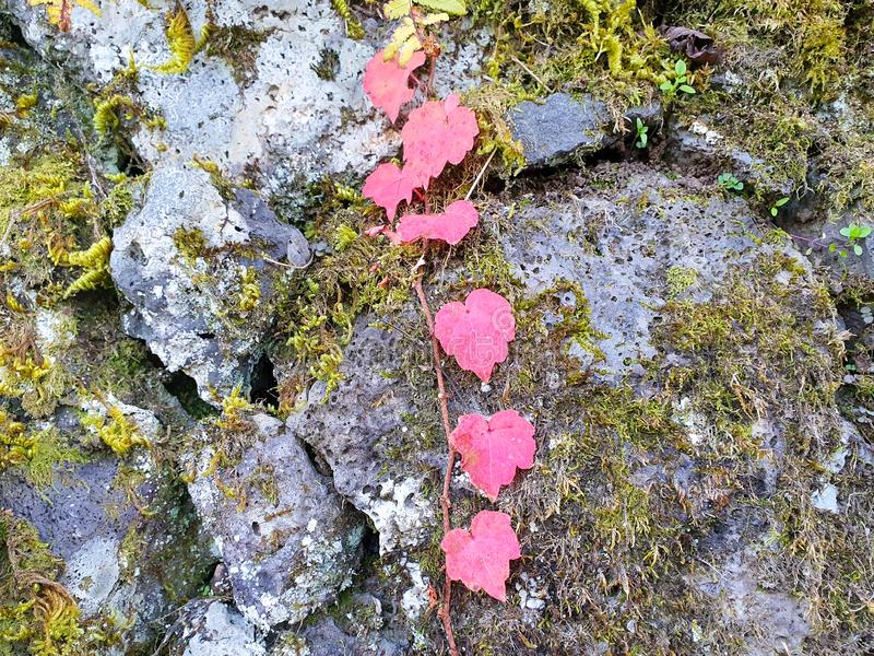 Red ivy vines on the moss covered rock. Red color boston ivy leaves on the moss covered rock, autumn, background, colorful, fall, forest, garden, landscape, leaf stock photo